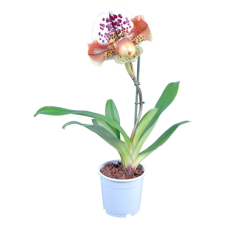 venusschuh orchidee 1 trieber paphiopedilum kaufen bei obi. Black Bedroom Furniture Sets. Home Design Ideas