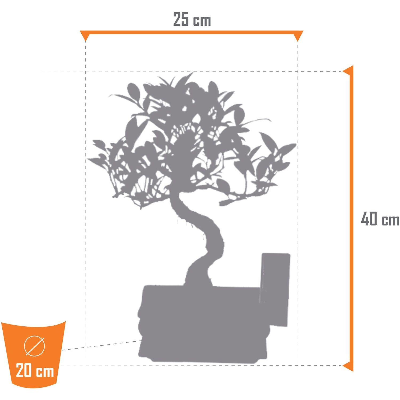 bonsai birkenfeige