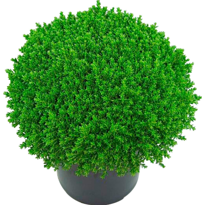 Hebe green globe h he ca 20 30 cm topf ca 1 25 l for Pflanzen liefern