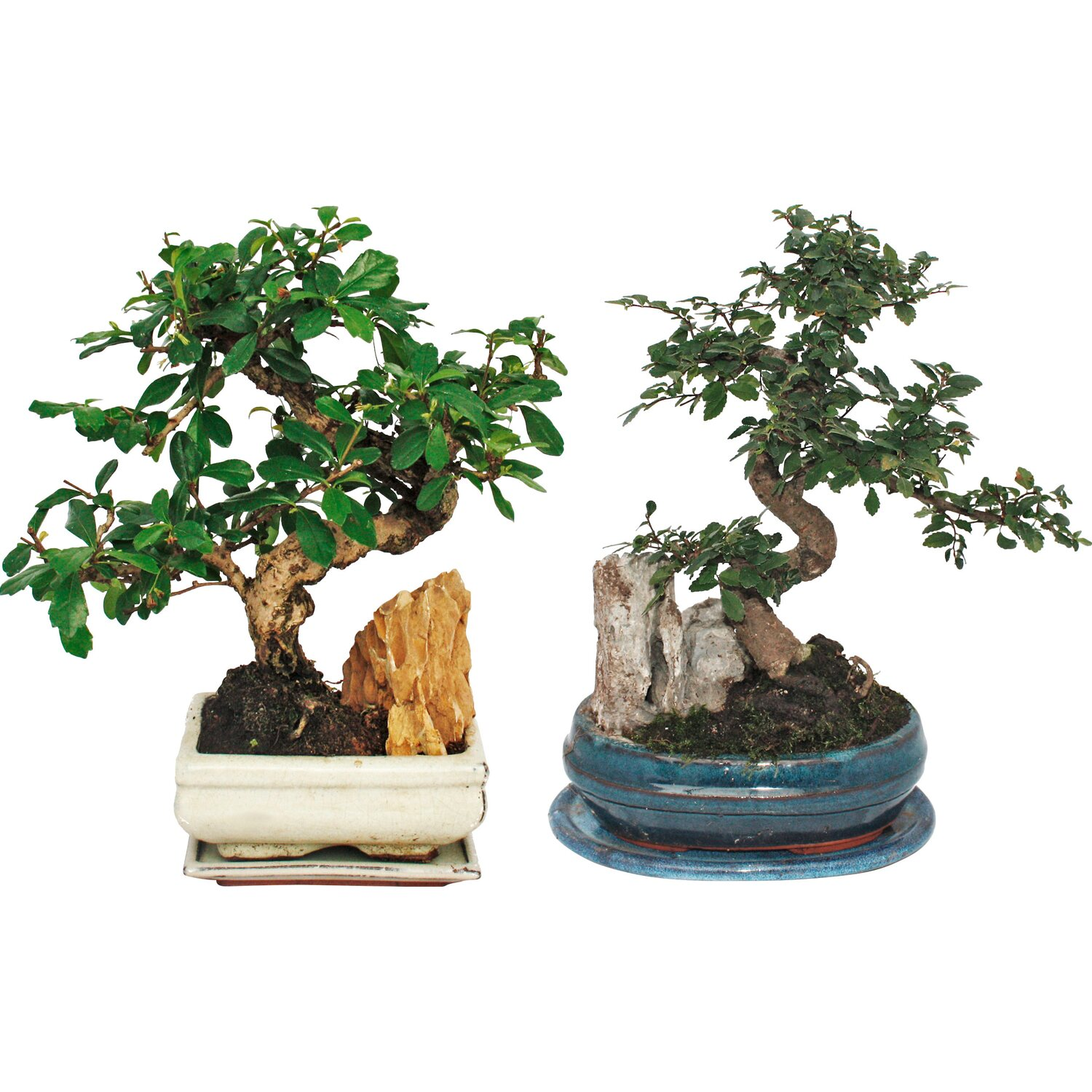 bonsai felslandschaft topf ca 18 cm kaufen bei obi. Black Bedroom Furniture Sets. Home Design Ideas