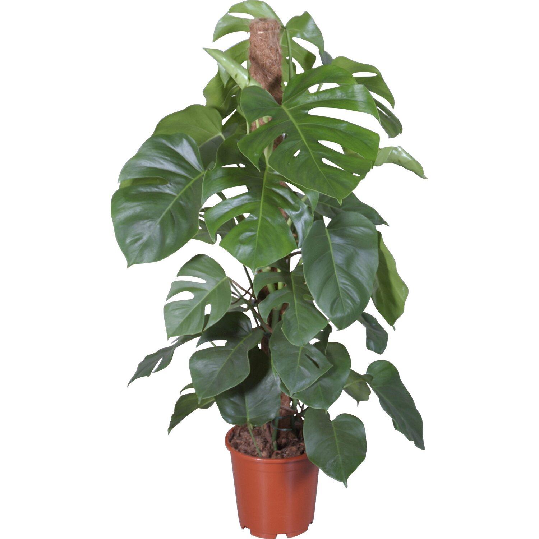 Fensterblatt an moosstab topf ca 24 cm monstera kaufen for Zimmerpflanzen dekorativ