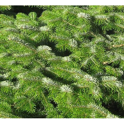 weihnachtsbaum echte nordmanntanne 125 150 cm hoch. Black Bedroom Furniture Sets. Home Design Ideas