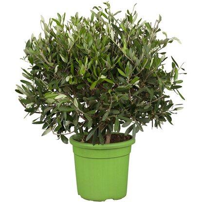 olivenbaum busch topf ca 16 cm olea kaufen bei obi. Black Bedroom Furniture Sets. Home Design Ideas