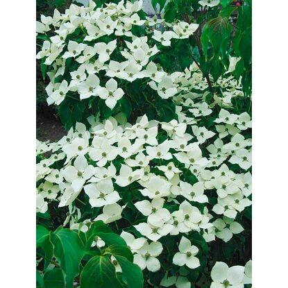 Chinesischer Blumen-Hartriegel Weiß Höhe ca. 40 - 50 cm Topf ca. 5 l ...