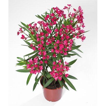 oleander topf ca 17 cm nerium oleander kaufen bei obi. Black Bedroom Furniture Sets. Home Design Ideas