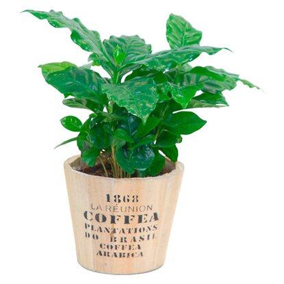 kaffeestrauch in holztopf ca 13 cm coffea arabica kaufen bei obi. Black Bedroom Furniture Sets. Home Design Ideas