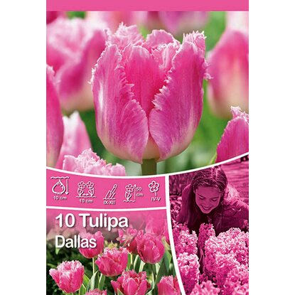 "Gefranste Tulpe ""Dallas"""