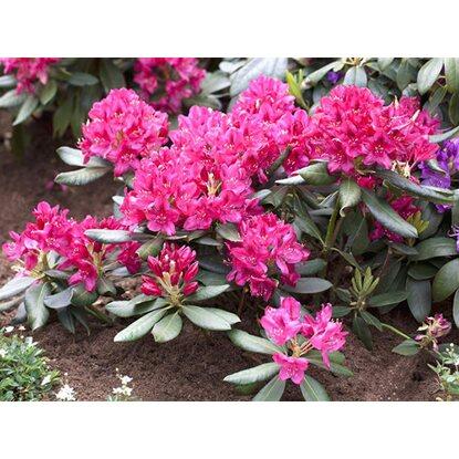 obi rhododendron nova zembla rot h he ca 50 60 cm topf ca 7 5 l rhododendron kaufen bei obi. Black Bedroom Furniture Sets. Home Design Ideas