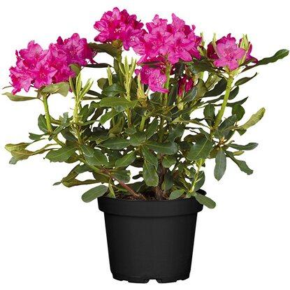 rhododendron nova zembla rot h he ca 50 60 cm topf ca 10 l rhododendron kaufen bei obi. Black Bedroom Furniture Sets. Home Design Ideas