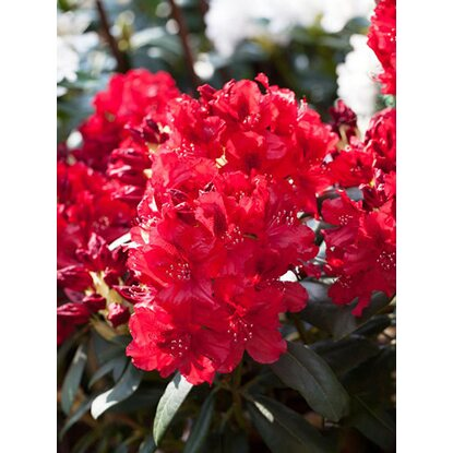rhododendron hybride erato rot h he ca 40 50 cm topf ca 7 l rhododendron kaufen bei obi. Black Bedroom Furniture Sets. Home Design Ideas