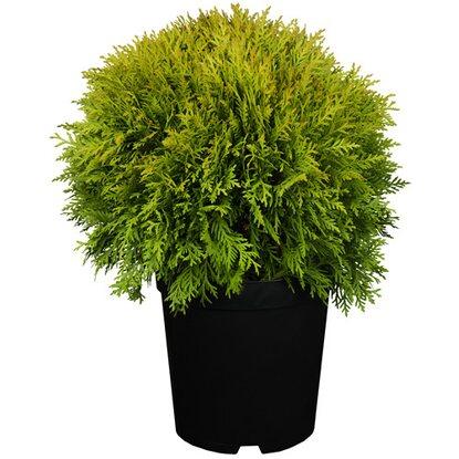 lebensbaum mirjam h he ca 10 20 cm topf ca 2 l thuja kaufen bei obi. Black Bedroom Furniture Sets. Home Design Ideas