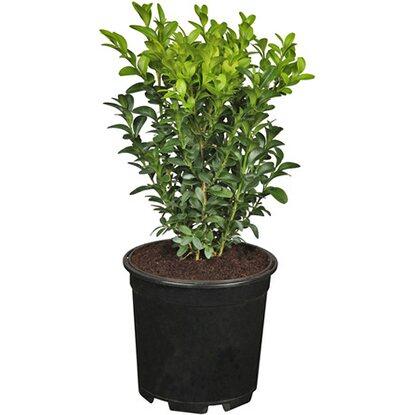 buchsbaum h he ca 5 10 cm topf ca 0 5 l buxus kaufen bei obi. Black Bedroom Furniture Sets. Home Design Ideas