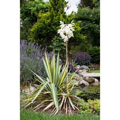 palmlilie golden sword wei topf ca 13 cm yucca. Black Bedroom Furniture Sets. Home Design Ideas