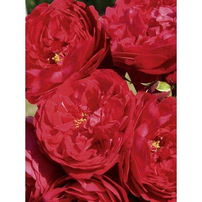 kletterrose florentina rot h he ca 30 40 cm topf ca. Black Bedroom Furniture Sets. Home Design Ideas