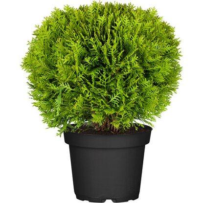 obi kugel lebensbaum danica h he ca 10 20 cm topf ca 2 l thuja kaufen bei obi. Black Bedroom Furniture Sets. Home Design Ideas