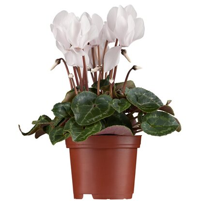 pflanzen set herbst f r balkonkasten kaufen bei obi. Black Bedroom Furniture Sets. Home Design Ideas