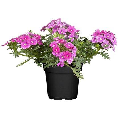 h ngende verbene 6er set rosa topf ca 11 cm verbena kaufen bei obi. Black Bedroom Furniture Sets. Home Design Ideas