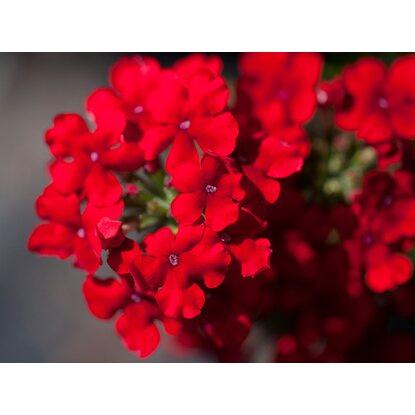 h ngende verbene 6er set rot topf ca 11 cm verbena kaufen bei obi. Black Bedroom Furniture Sets. Home Design Ideas