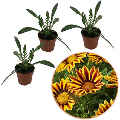 "Mittagsgold ""Big Color Big Kiss"" 3er Set Höhe 15 - 20cm Topf-Ø ca.10,5cm Gazania"
