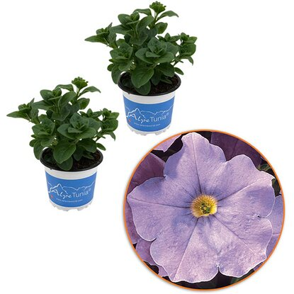 "Petunie AlpeTunia ""Light Blue"" 3er Set in 3 Sorten Höhe 10-15 cm Topf-Ø ca.10,5"