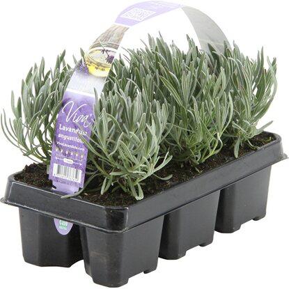 Obi lavendel hidcote 6er pack lavandula angustifolia - Duftende gartenpflanze ...