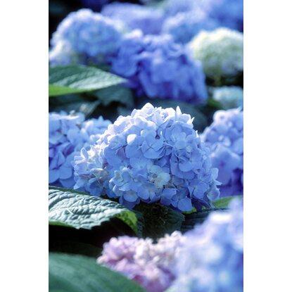 bauernhortensie endless summer blau h he ca 50 cm topf ca 5 l hydrangea kaufen bei obi. Black Bedroom Furniture Sets. Home Design Ideas