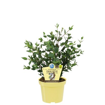 blu echter eukalyptus topf ca 17 cm kaufen bei obi