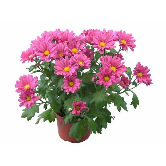 chrysantheme 3 trieber farbmix topf ca 12 cm im obi online shop. Black Bedroom Furniture Sets. Home Design Ideas