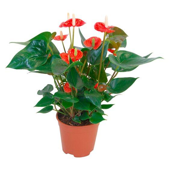 anthurie orange topf ca 14 cm anthurium andreanum kaufen bei obi. Black Bedroom Furniture Sets. Home Design Ideas