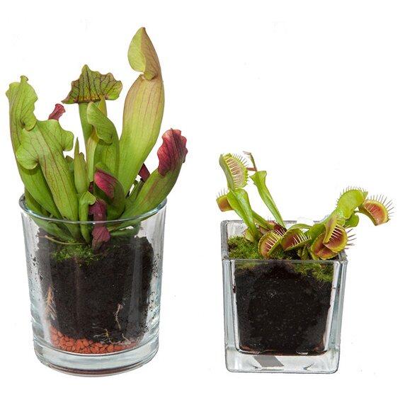 fleischfressende pflanze im glas ca 11 cm kaufen bei obi. Black Bedroom Furniture Sets. Home Design Ideas