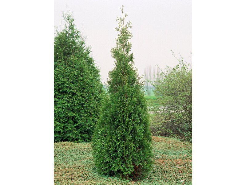 Thuja Holz Verwendung lebensbaum brabant höhe ca 80 100 cm topf ca 4 l thuja