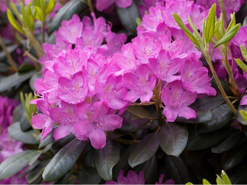 rhododendron roseum elegans rosa h he ca 50 60 cm. Black Bedroom Furniture Sets. Home Design Ideas
