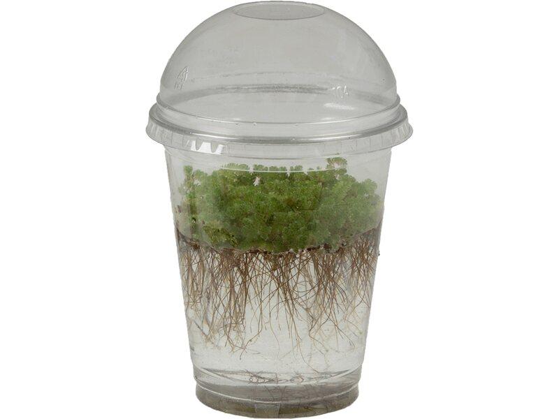kleiner algenfarn topf ca 10 cm kaufen bei obi. Black Bedroom Furniture Sets. Home Design Ideas