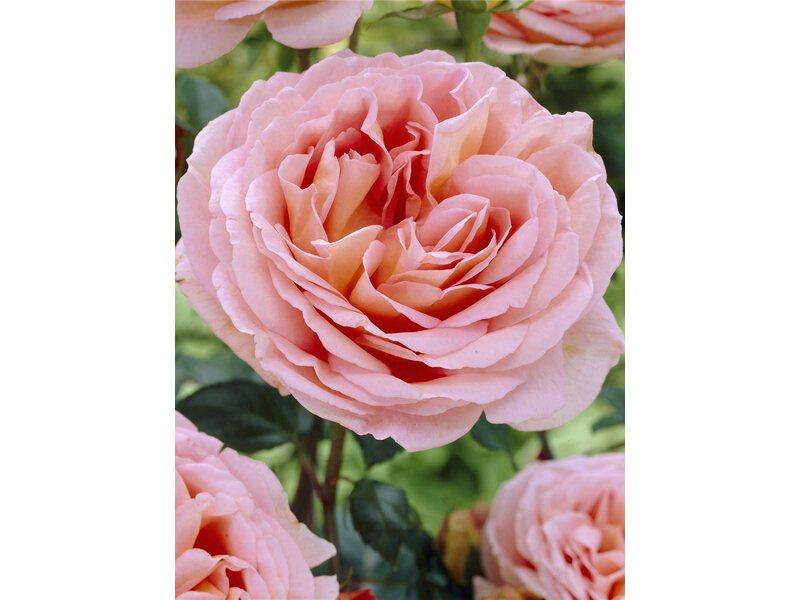 englische strauchrose abraham darby apricotfarben topf ca 19 cm kaufen bei obi. Black Bedroom Furniture Sets. Home Design Ideas