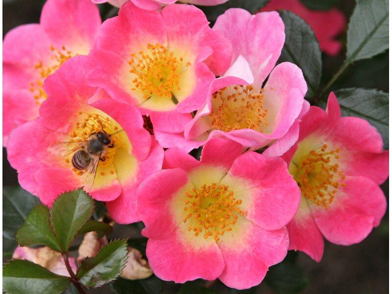 Kletterbogen Rosen : Ramblerrosen traumgarten hauswand pergola und