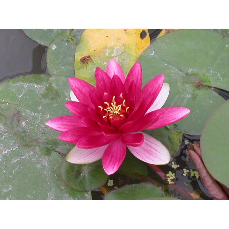 Attraktiv Teichpflanzen Online Kaufen Bei OBI