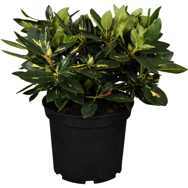 rhododendron goldflimmer violett h he ca 30 40 cm topf ca 7 l rhododendron kaufen bei obi. Black Bedroom Furniture Sets. Home Design Ideas