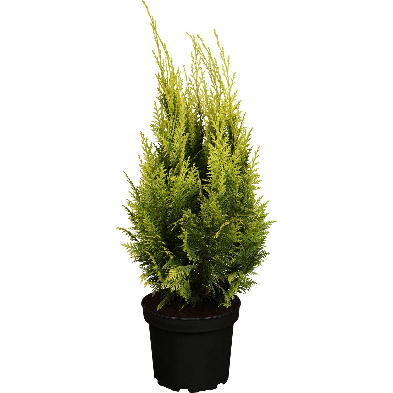 OBI Gartenzypresse Ivonne Gelb Höhe ca. 20 - 30 cm Topf ca. 2 l Chamaecyparis