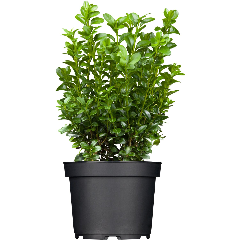 buchsbaum h he ca 10 20 cm topf ca 2 l buxus kaufen bei obi. Black Bedroom Furniture Sets. Home Design Ideas