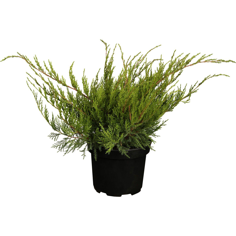 Strauch-Wacholder Mint Julep Höhe ca. 5 - 10 cm Topf ca. 2 l Juniperus
