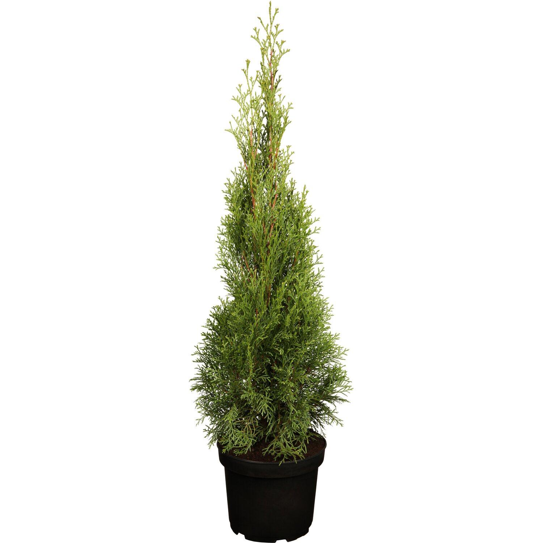 OBI Living Garden OBI Lebensbaum Smaragd Höhe ca. 80 - 10...