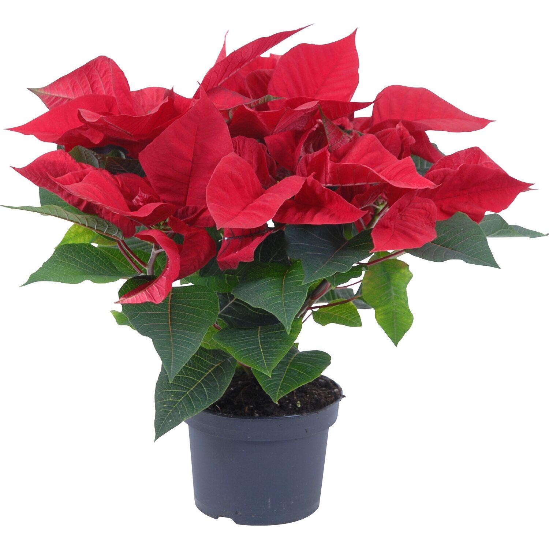 weihnachtsstern verschiedene farben topf ca 13 cm. Black Bedroom Furniture Sets. Home Design Ideas