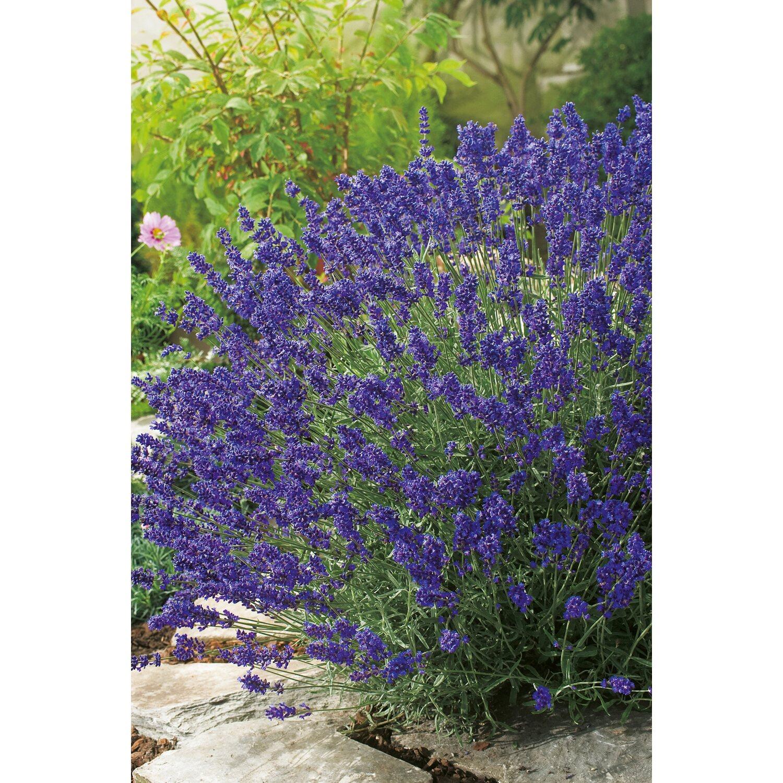 Obi Lavendel Hidcote 6er Pack Lavandula Angustifolia Kaufen Bei Obi