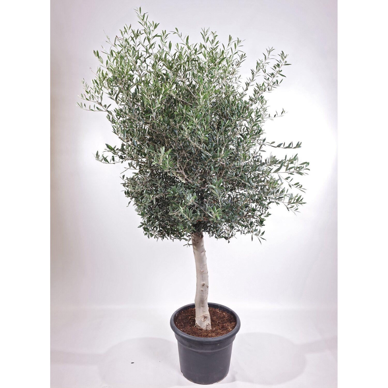Beliebt Bevorzugt Olivenbaum Stamm Topf-Ø ca. 40 cm Olea kaufen bei OBI &WI_84