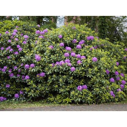 rhododendron metallica lila h he ca 40 50 cm topf ca 7 l rhododendron kaufen bei obi. Black Bedroom Furniture Sets. Home Design Ideas
