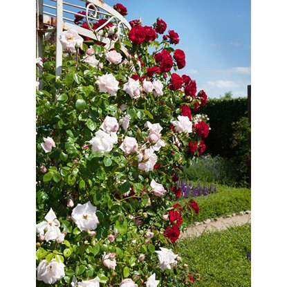 kletterrosen klettermaxe h he ca 30 40 cm topf ca 5 l rosa kaufen bei obi. Black Bedroom Furniture Sets. Home Design Ideas