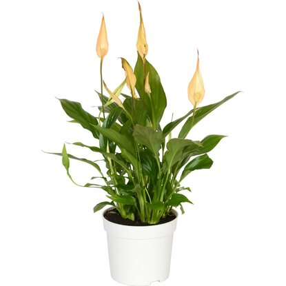 Einblatt Make-Upz Orange Topf-Ø ca. 9 cm (Spathiphyllum)