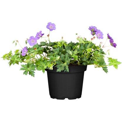 storchschnabel rozanne blau topf ca 19 cm geranium. Black Bedroom Furniture Sets. Home Design Ideas