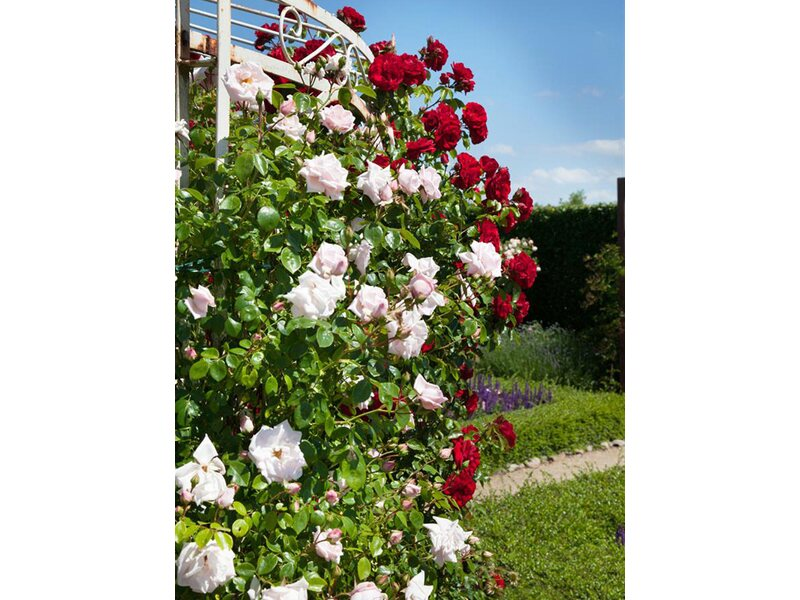 Kletterbogen Für Rosen : Edelrosen online kaufen bei obi