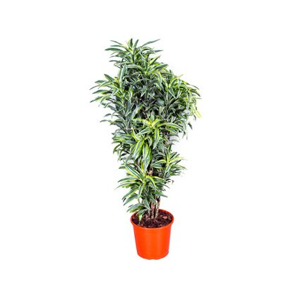 Dracena wonna Surprise (Dracaena fragrans)